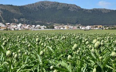 La Alcachofa de verano está ya disponible en Hortoventas